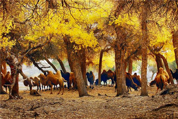 胡杨林里的骆驼