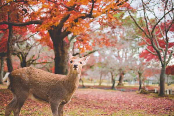 日本奈良秋天红叶赏枫003-锐景